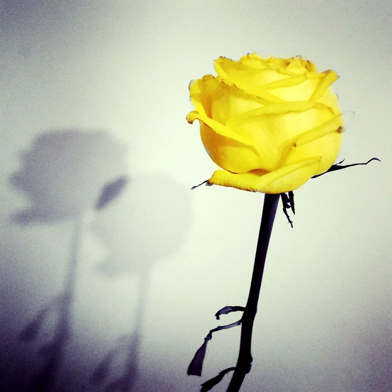 Rose - Flower Yellow Yellow No People Beauty In Nature Indoors Close-up Family No People Editoftheday EyeEm Flower Editing Fun Mom ❤ Hugs & Love  Beautiful ♥ Beauty In Nature Edited My Way