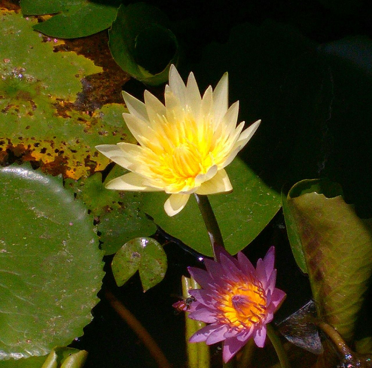 flower, petal, beauty in nature, leaf, freshness, growth, nature, fragility, flower head, water lily, plant, yellow, floating on water, lotus water lily, blooming, lily pad, no people, close-up, water, lotus, day, outdoors