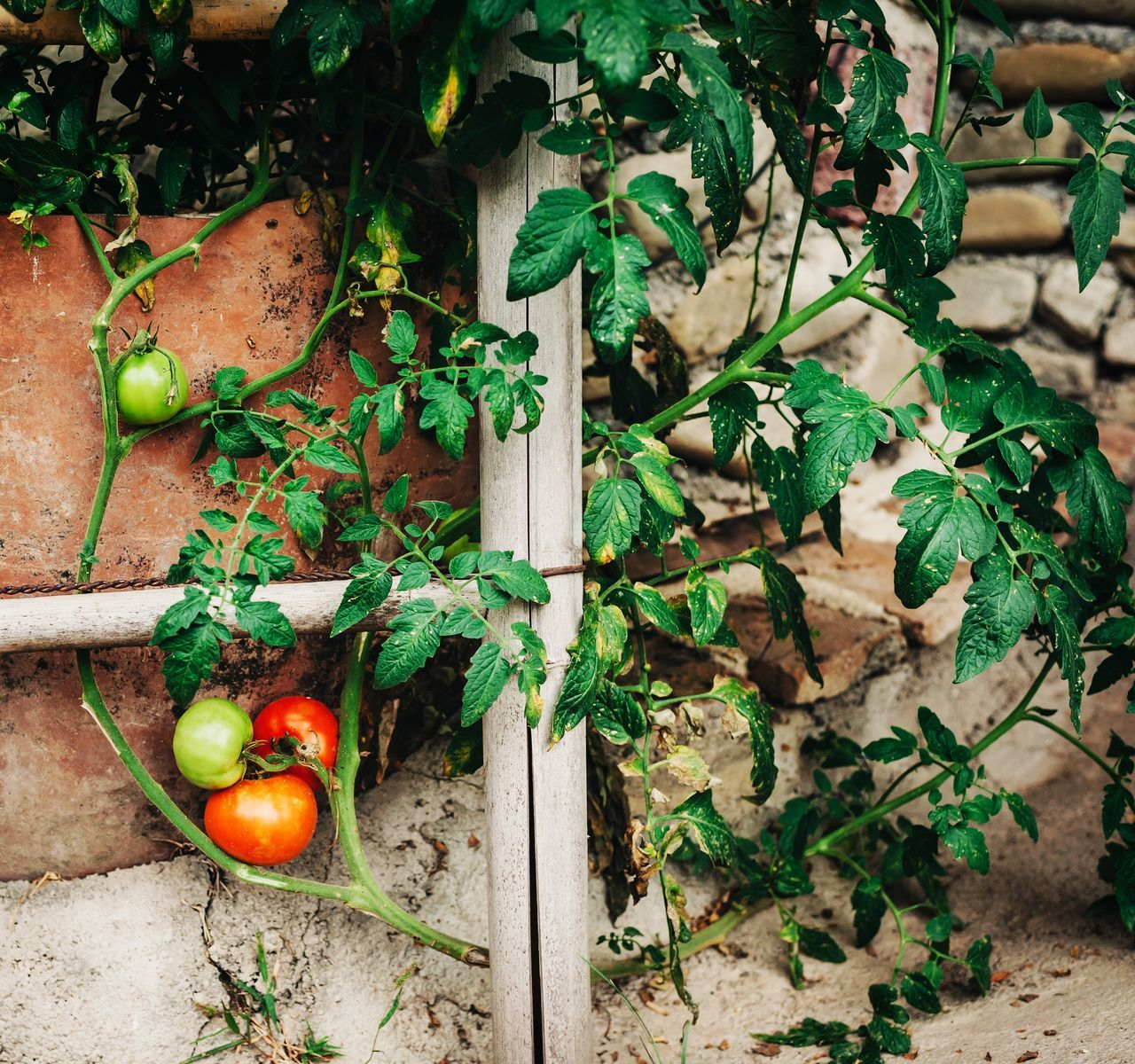 Tomatoes Tomato Leaf Green Color No People Growth Fruit Healthy Eating Plant Food And Drink High Angle View Branch Tree Nature Day Freshness Christmas Decoration Outdoors Close-up Horizontal