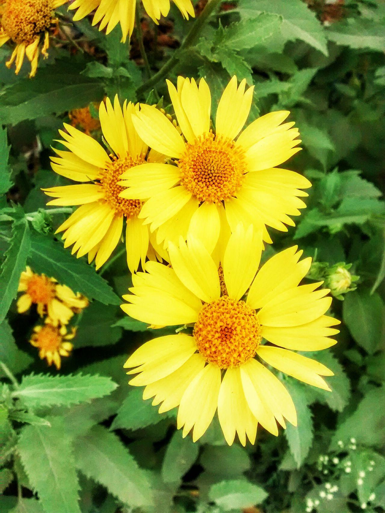 Yellowbeauty