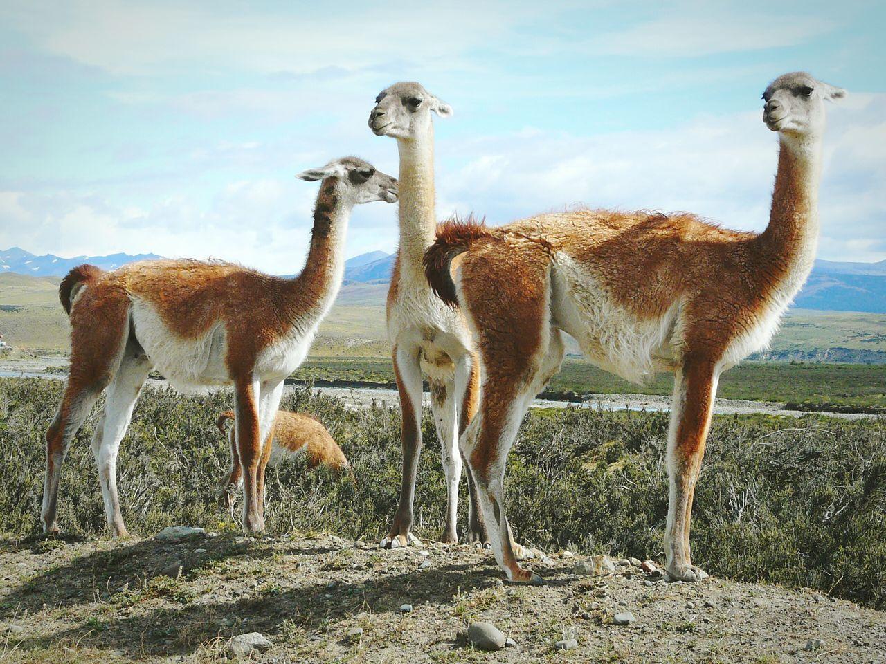Beautiful stock photos of llama, Animal Themes, Animals In The Wild, Brown, Cloud - Sky