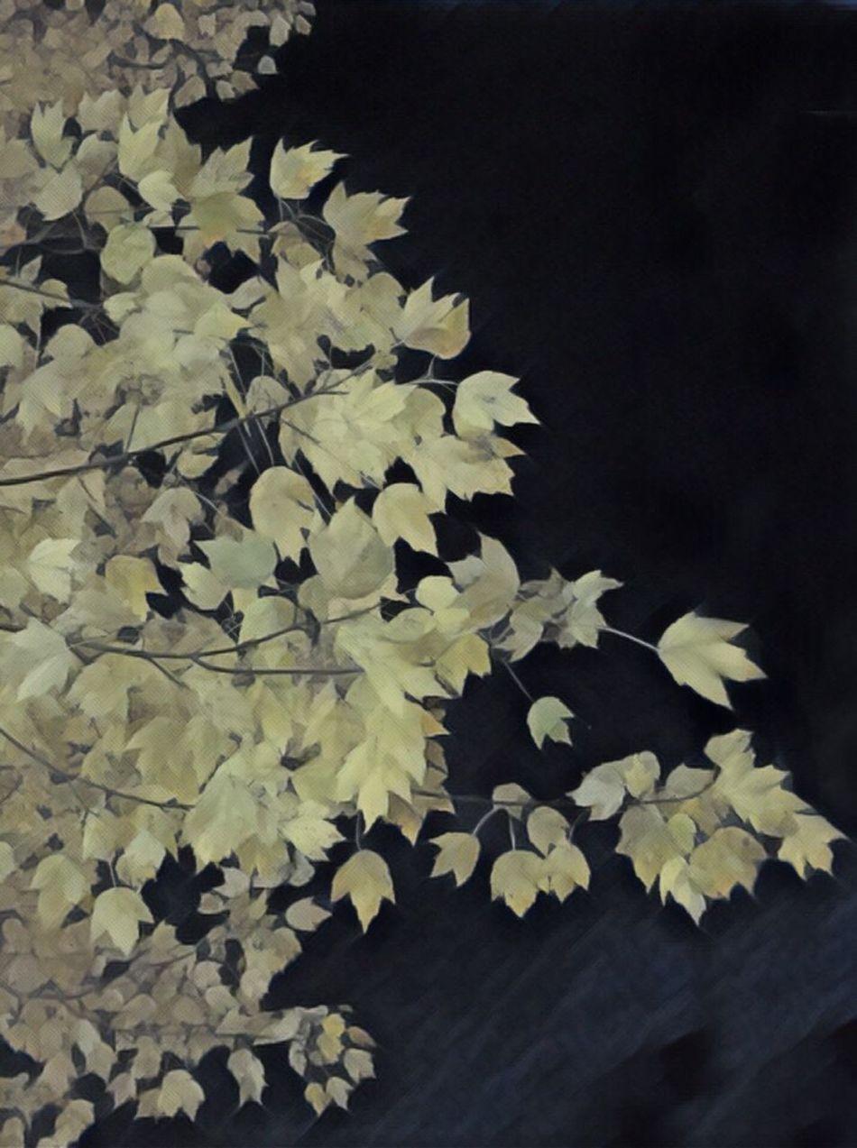 Autumn nights Beauty In Nature Autumn Leaves Autumn Nature Leaves Yellow Leaves