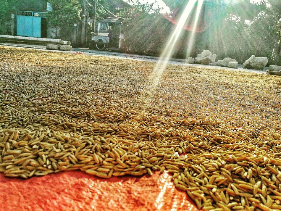 When Boredom Strikes. WhenBoredomStrikes Sunrise Beautiful Day Rice Harvesting