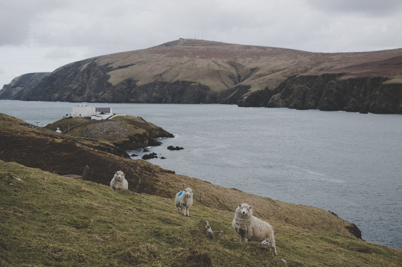 "The famous folk band ""Sheeplanders"" on the northernmost North of Shetland - Unst Island Agriculture Animal Themes Beauty In Nature Close-up Day Flock Of Sheep Grass Landscape Livestock Nature No People Outdoors Sheep Shetland Shetland Islands Sky"