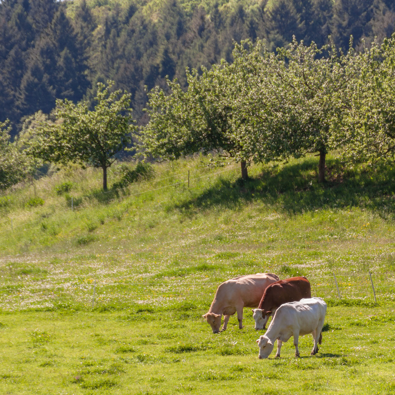 Animal Themes Beauty In Nature Cows Cows In A Field Day Domestic Animals Field Grass Grazing Grazing Landscape Livestock Mammal Meadow Nature No People Outdoors Rural Scene Springtime Standing Sunlight Tree Trees