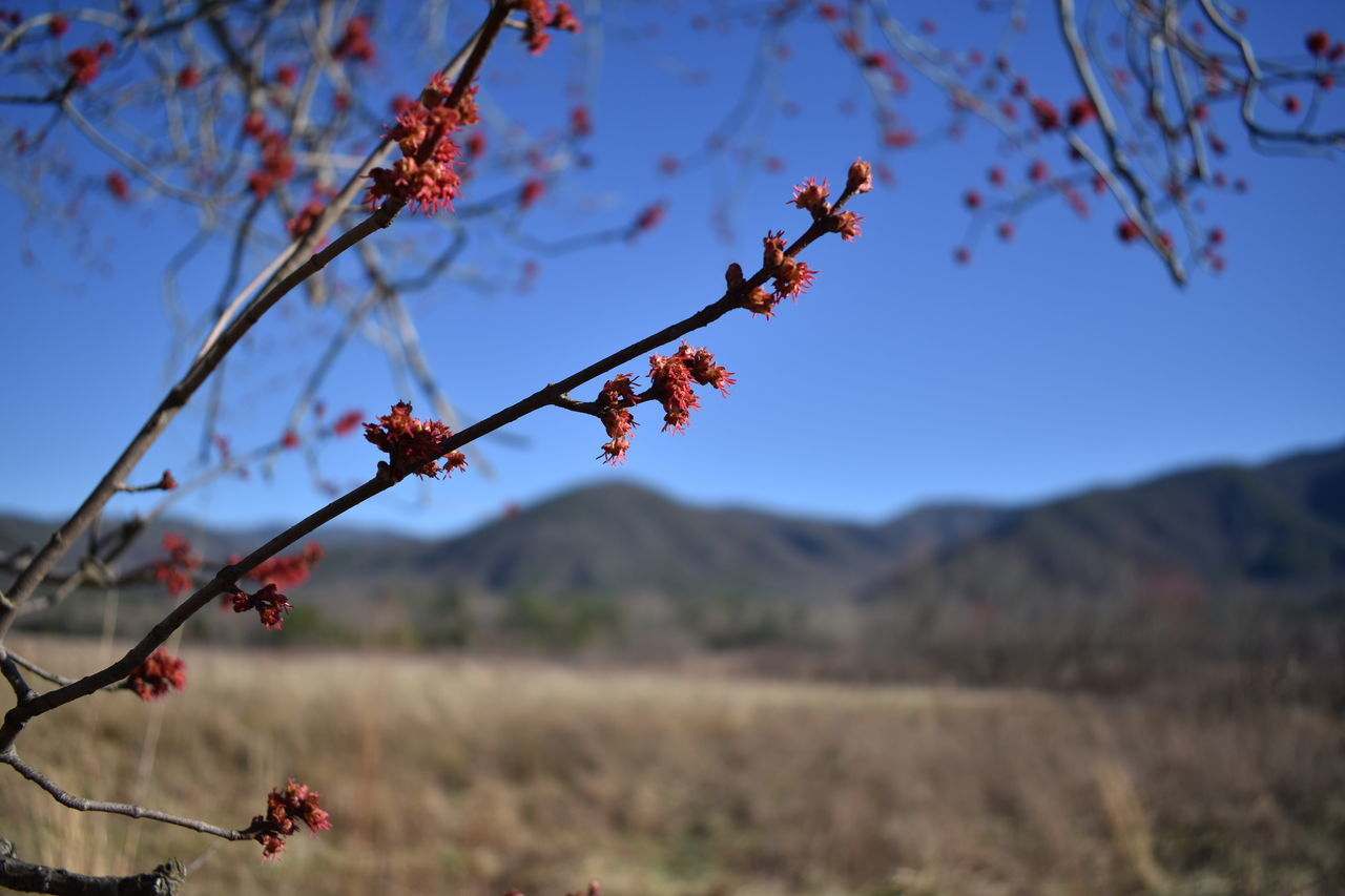 nature, tree, beauty in nature, branch, growth, twig, focus on foreground, outdoors, day, flower, fragility, no people, plant, red, tranquility, blue, close-up, sky, catkin, clear sky, freshness, flower head