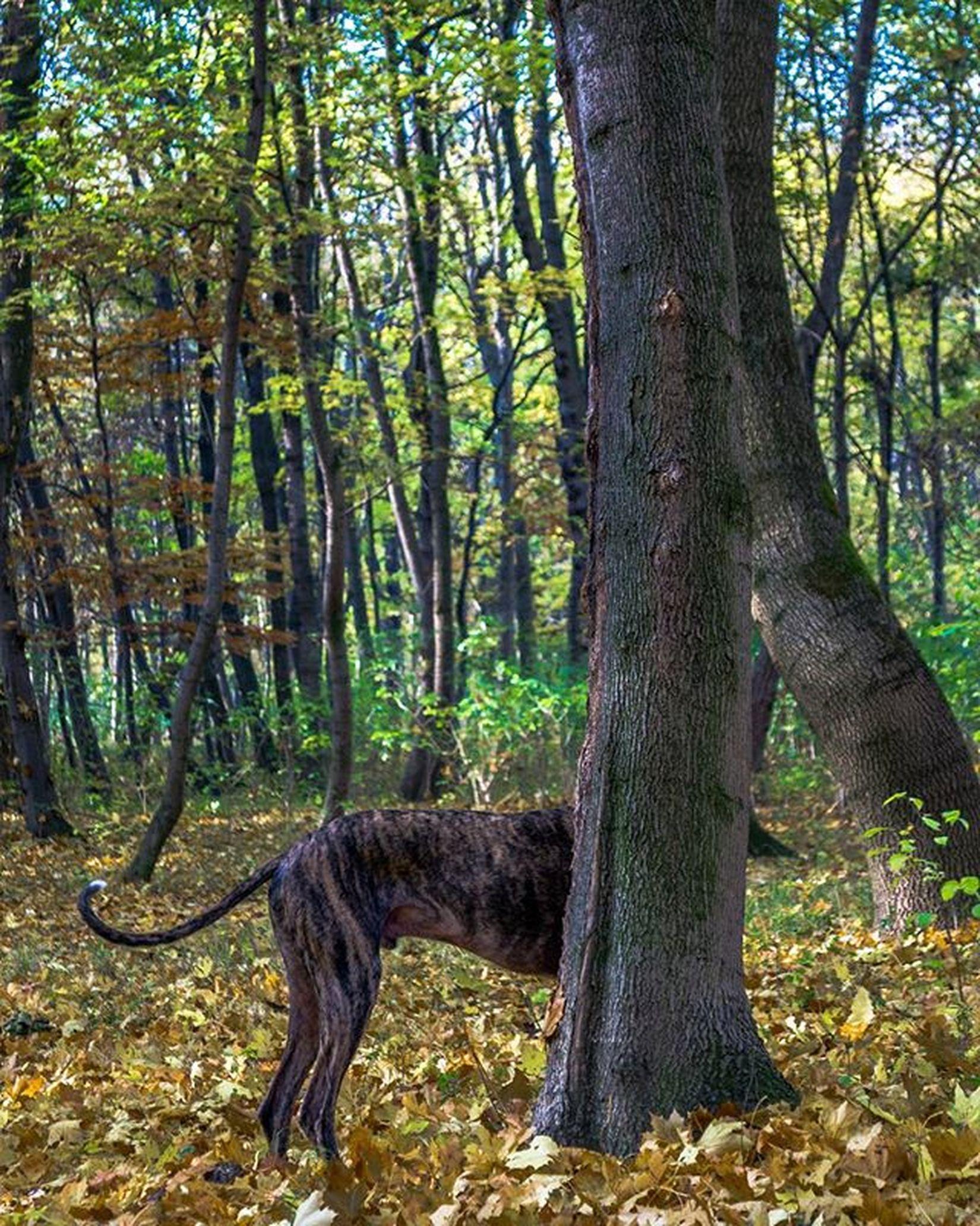 Vienna Autumn Dog Sidehound Halfdog Behindtree