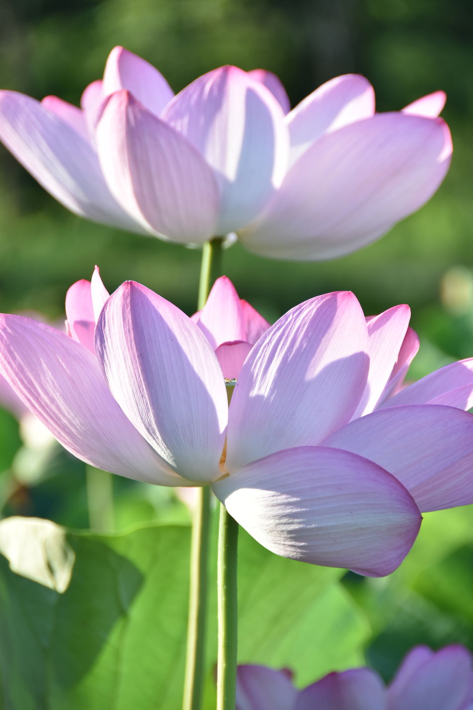 Beauty In Nature Beauty In Nature Close-up Day Delicate Beauty Flower Flower Head Focus On Foreground Fragile Fragility Freshness Freshness Green Leaves Lily Pond Lotus Flowers Lotus Pond Nature Nature No People Outdoors Petal Pink Color Plant