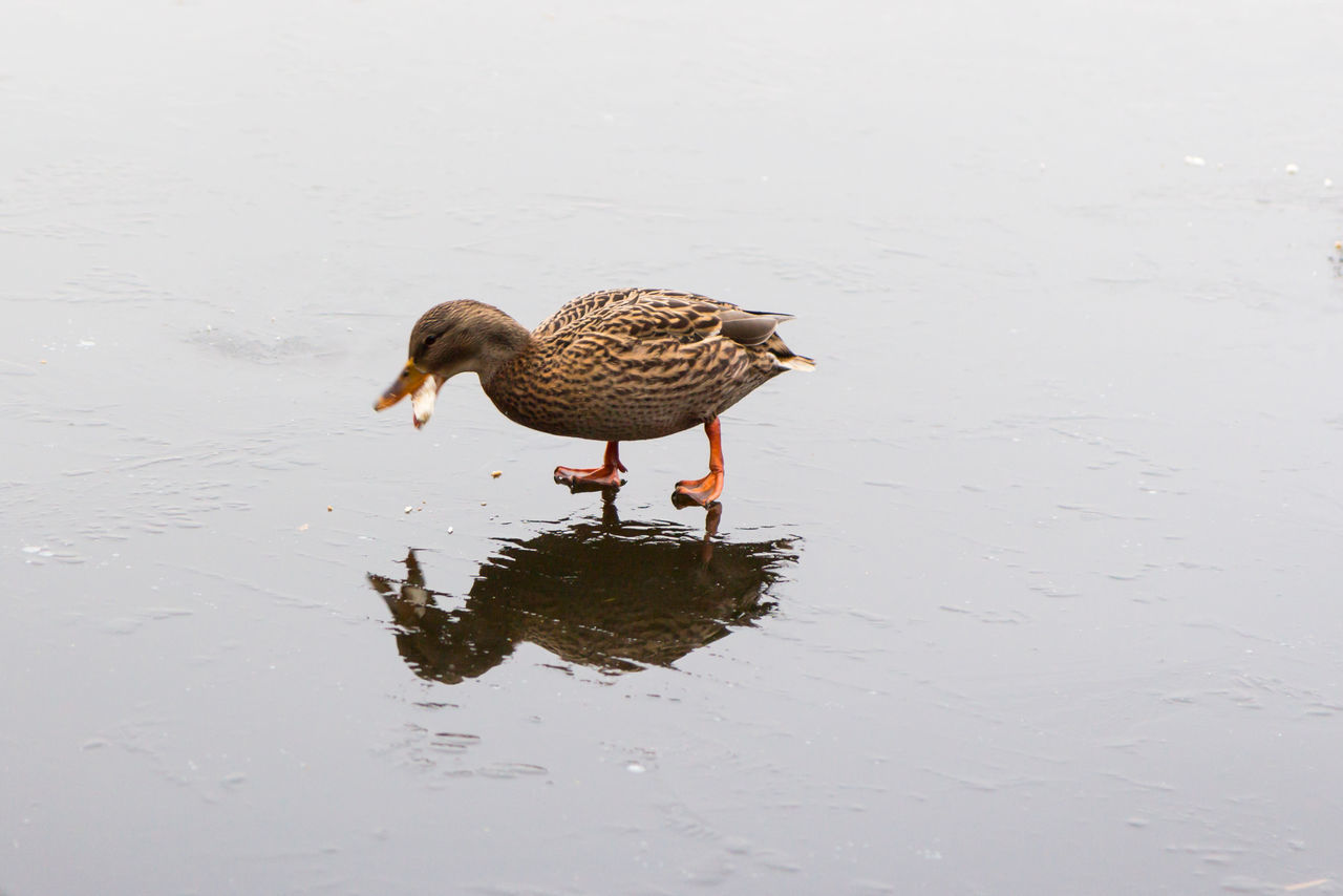 bird, one animal, animal themes, animals in the wild, animal wildlife, water, nature, no people, day, outdoors