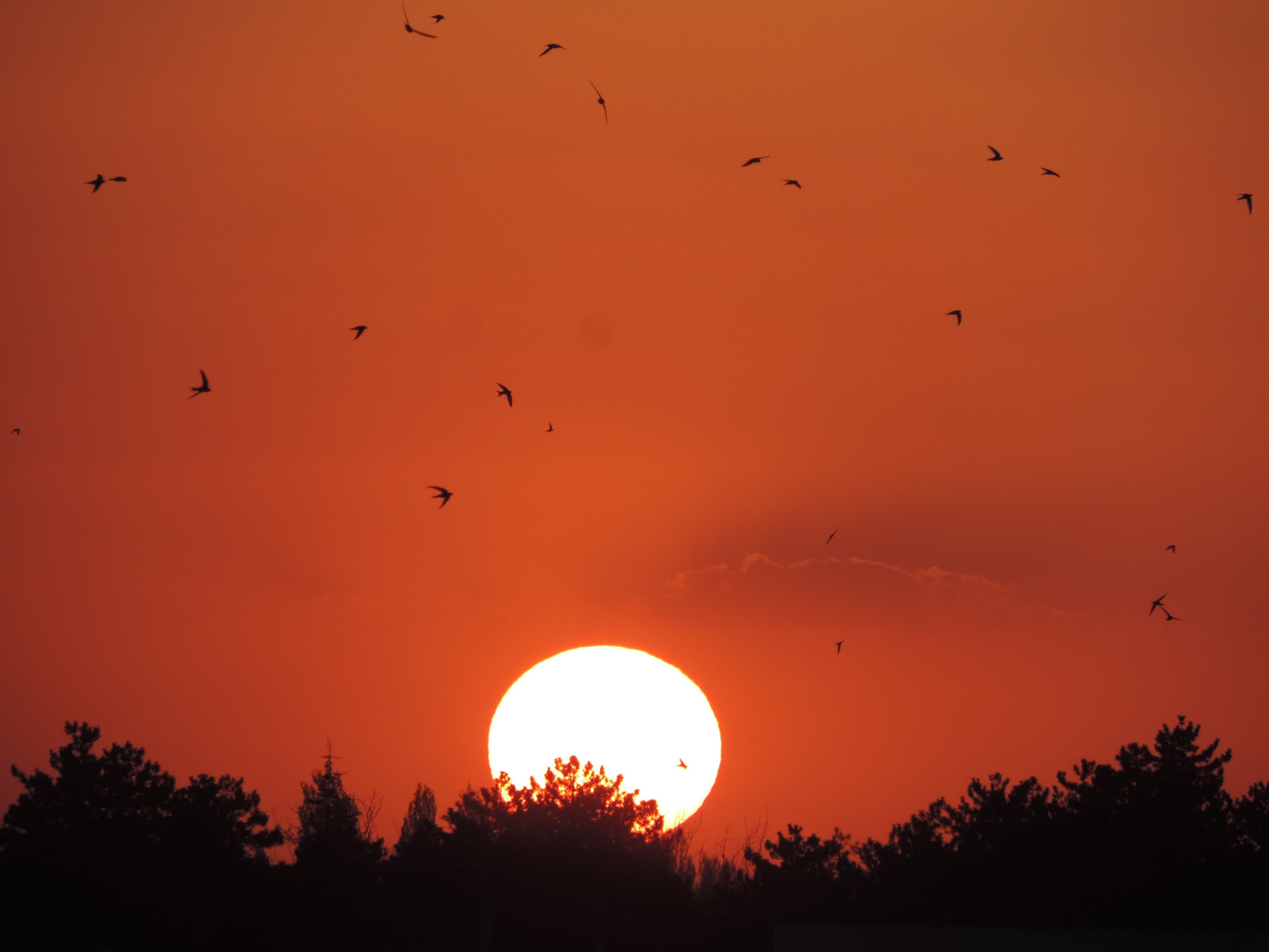 sunset, silhouette, bird, flying, orange color, low angle view, animal themes, animals in the wild, wildlife, tree, sky, sun, beauty in nature, scenics, nature, flock of birds, tranquility, tranquil scene, idyllic