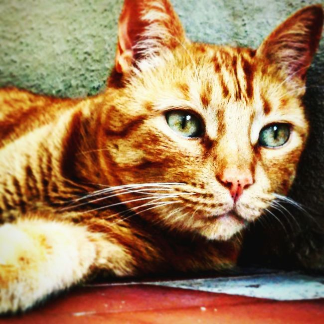 MY LOVE Cat Cats Cat♡ Catlovers Cats Of EyeEm Redcat Littletiger Youaremylove