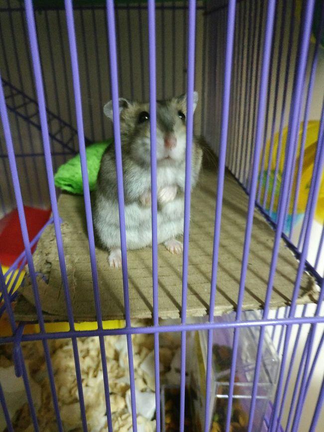 Exotic Animals Fluffy Smile Hamster World Hamsterbaby Hamster ♡ Hamster Love Hamster 💞 Hamster Felicity
