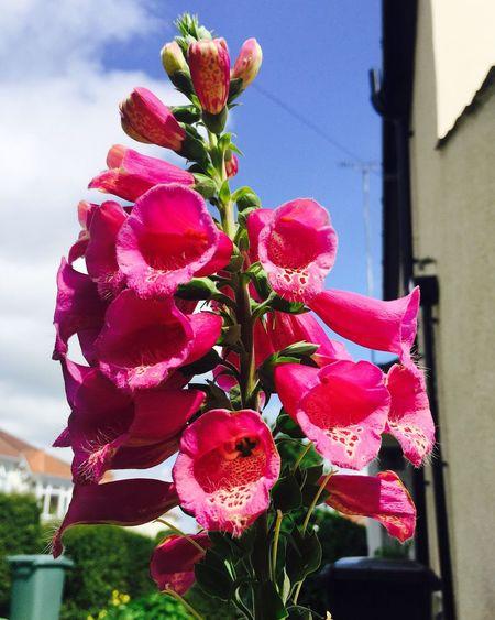 Foxglove Flowers Flora Horfield Jehovahscreation