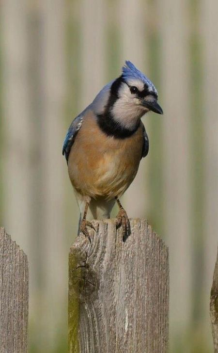 Birds Bluejays