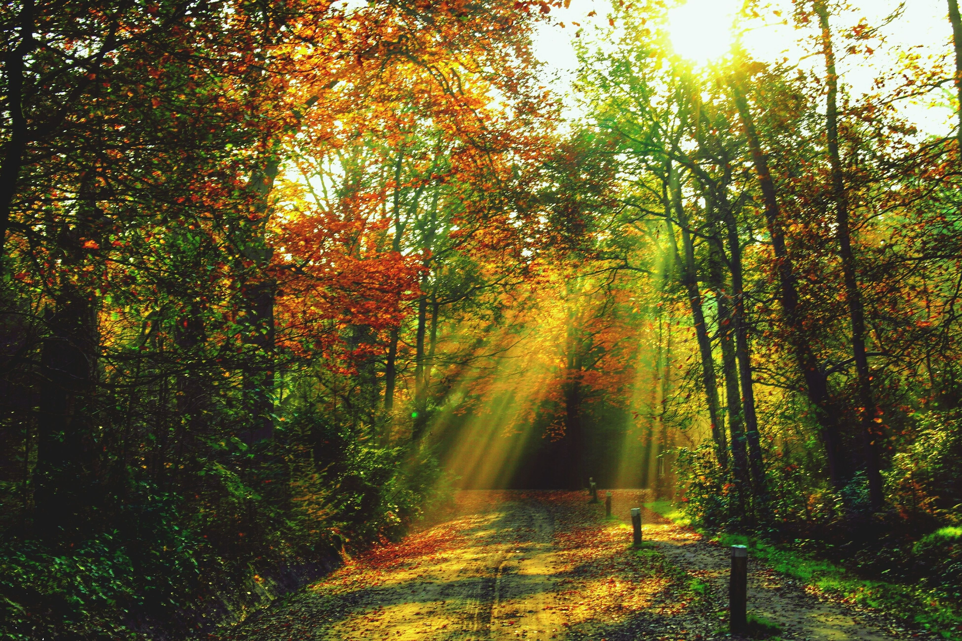 tree, tranquility, growth, beauty in nature, autumn, nature, tranquil scene, forest, scenics, change, sunlight, branch, orange color, season, idyllic, sunbeam, lush foliage, green color, outdoors, non-urban scene