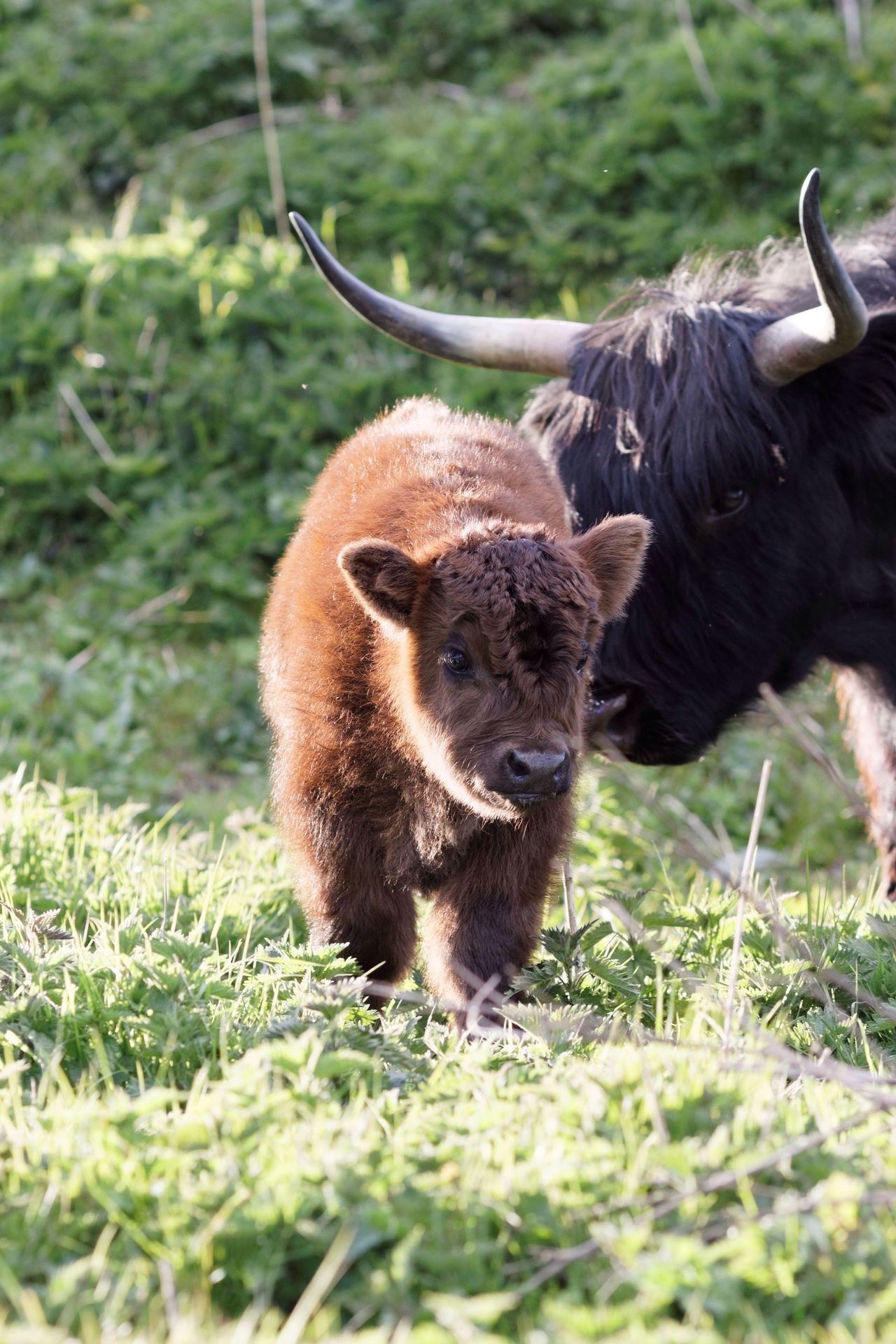 Highland Cattle Newly Born Grass Mammal Animal Themes Animal Wildlife Outdoors Livestock Day Animals In The Wild Nature No People Domestic Animals Close-up