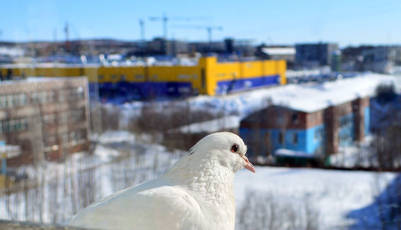bird, animal themes, one animal, animals in the wild, focus on foreground, day, white color, animal wildlife, nature, outdoors, no people, seagull, close-up, cold temperature, winter, beauty in nature, clear sky, building exterior, city, mourning dove, sky