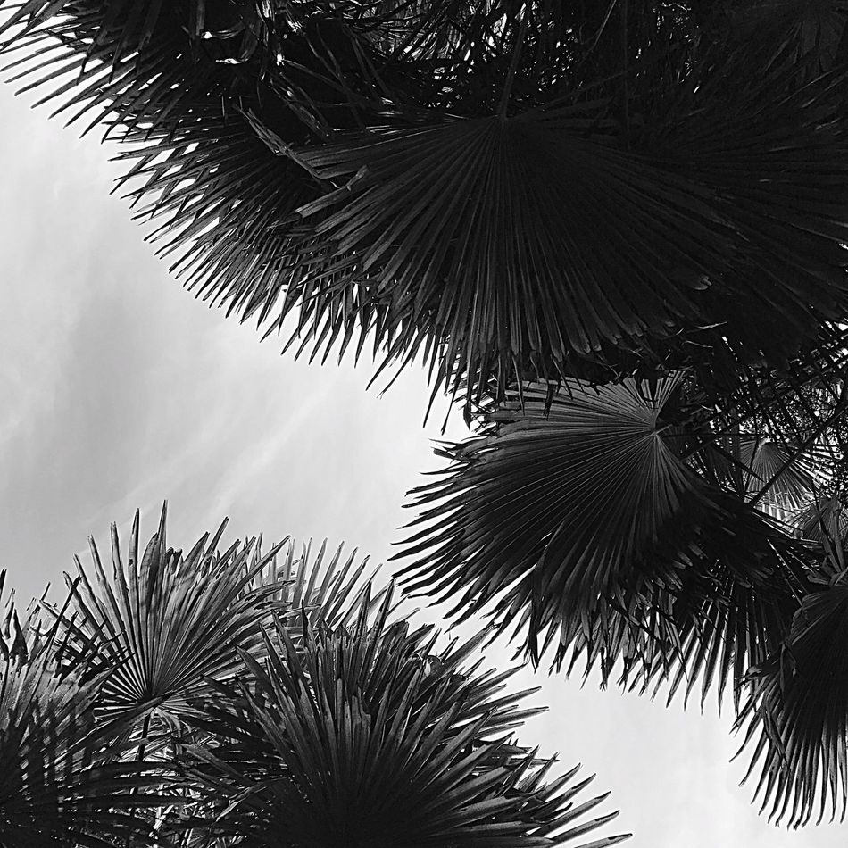 Tree Low Angle View Growth Nature Palm Tree Sky Tranquility No People Branch Scenics Beauty In Nature Outdoors Day Close-up Palms Open Edit Trachycarpus Fortunei