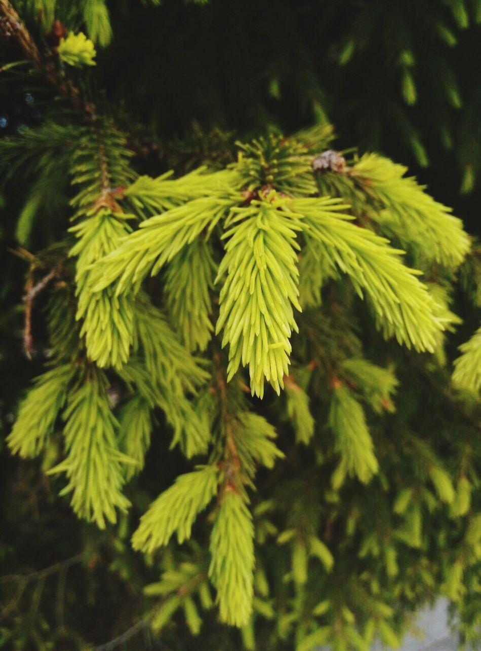 ель елка дерево Spruse Spruce Trees First Eyeem Photo