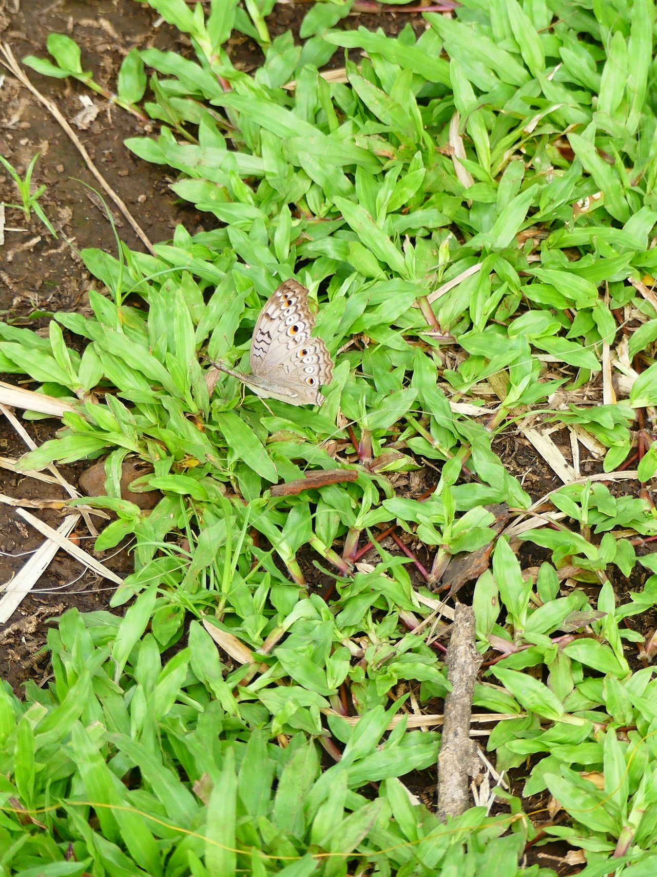My Daughter's Capture Lone Butterfly Animals In The Wild Nature Green Color Insect High Angle View Outdoors Leaf No People Growth Animal Themes Butterfly - Insect Beauty In Nature Grass Day Capture The Light Somewhere I Remember Somewhere In The World Somewhere Over The Rainbow Day Dreaming Beauty In Nature Wildlife Animal Wildlife Nature