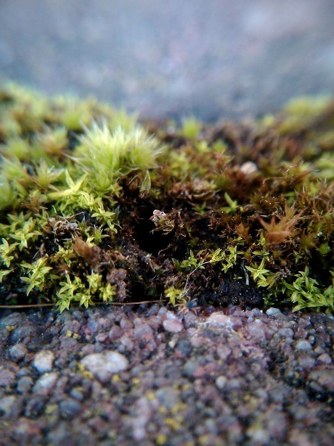 Moss Plants Little Garden Little Plants Mossporn Moss Close Up Moss-covered Moss In Macro Macro Macro Nature Macro World Macrogardener Macro Plants Macroclique Greenery Tiny World Tiny Plants Macro Photography Stones Close Up Nature Close Up Street Photography From Ground Level Ground Ground Level View Macro Grass