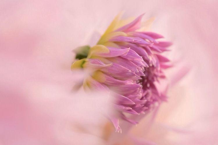 天女の羽衣 Flower Beauty In Nature Flower Head Petal Fragility Nature Freshness Growth Close-up No People Plant Day Outdoors