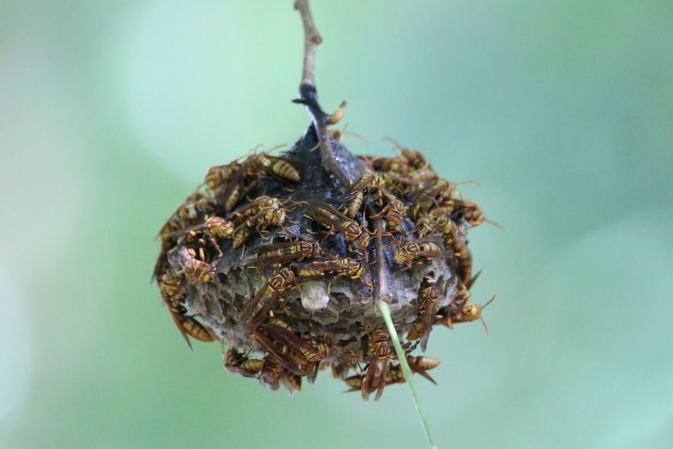 Nature Photography Nature_collection Nature Hornst Wasp At Work Wasp Nest Wasps Hornets Hornet Hornetsnest Hornet Hornets Nest