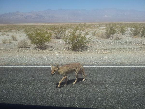 We would rather not go out ...:) Animal Themes Animals In The Wild Beauty In Nature Coyote Death Valley Desert Desert Animal Dry Climate Kalifornien Landscape Mammal Nature Nevada No People One Animal Outdoors Prairie Scenics