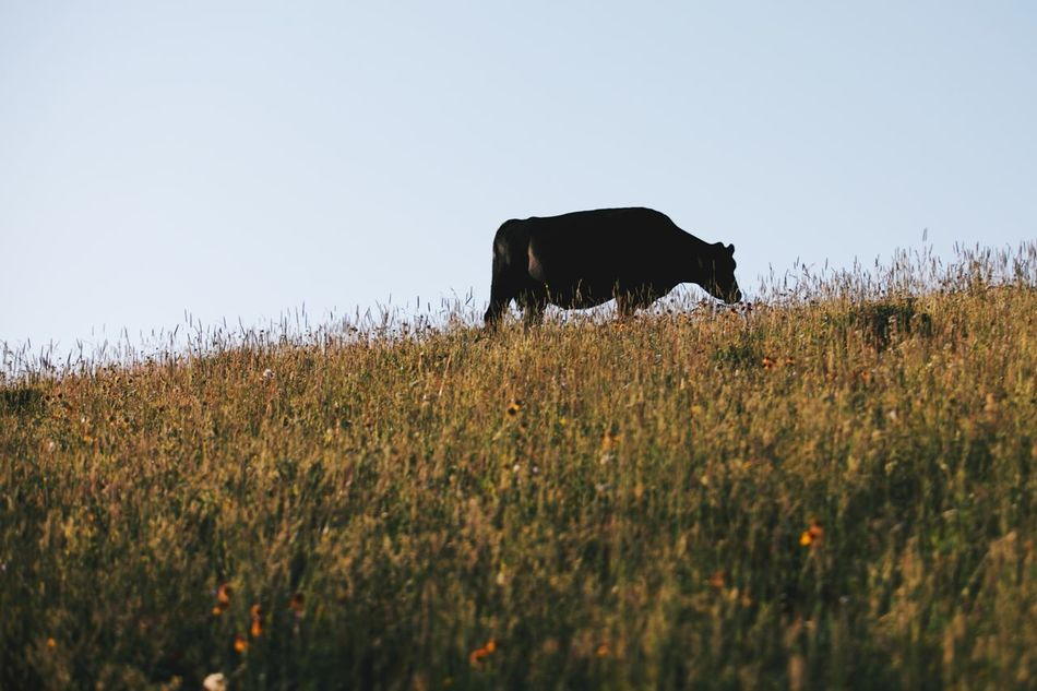 Beautiful stock photos of farm, Animal Themes, Clear Sky, Copy Space, Cow