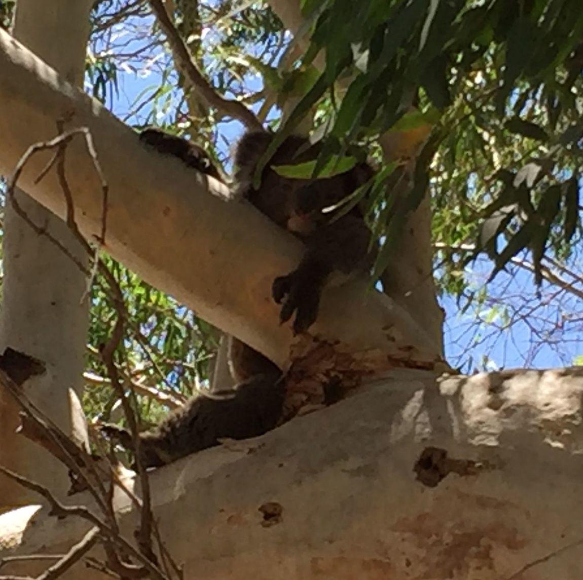 Koala Nature_collection Lazing About Hangingout Takingphotos Australia Marsupial Adelaide, South Australia Hills Morialta Falls Hiking Trail Adventures