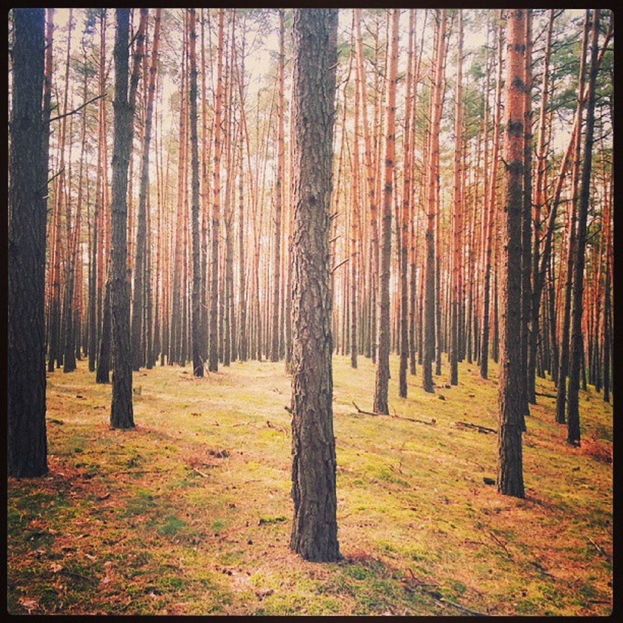 Picking mushrooms. Forrest Trees Pines at Studienka Zahorie Slovensko.