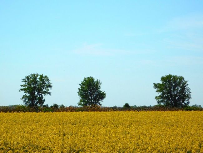 In The Fields Nature Springtime Trees Yellow Flowers