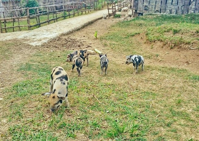 These piglet-pups are so adorable. Taking Photos Enjoying Life Fieldwork Open Edit Travelingfoot TOWNSCAPE