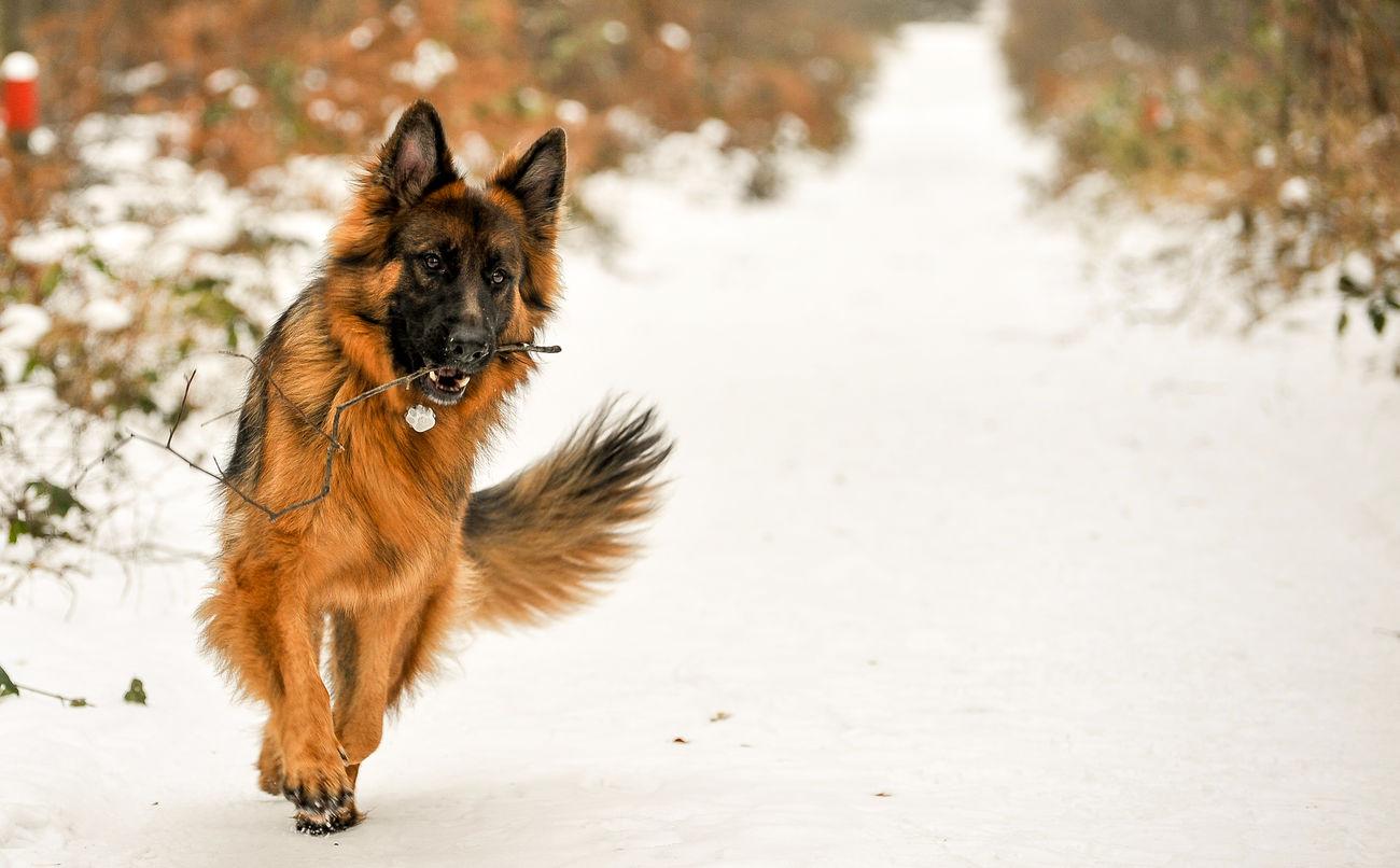 Beautiful stock photos of german shepherd, 12-13 Years, Animal Themes, Brown, Canine