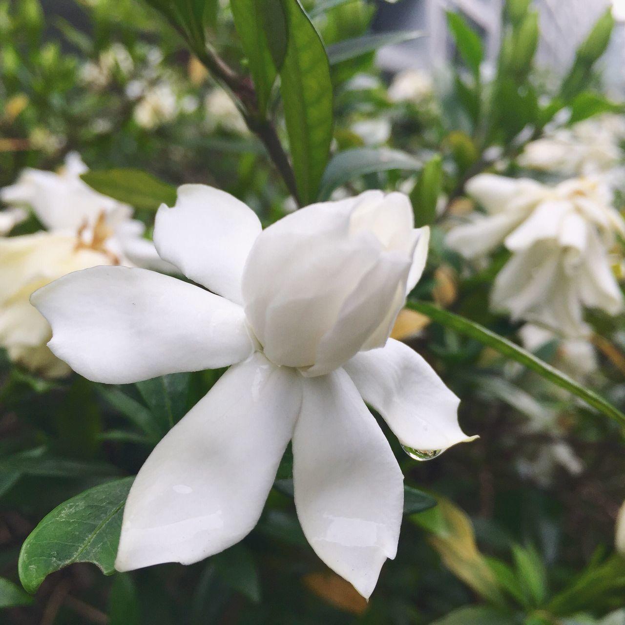 日常 栀子花 Lady Flower