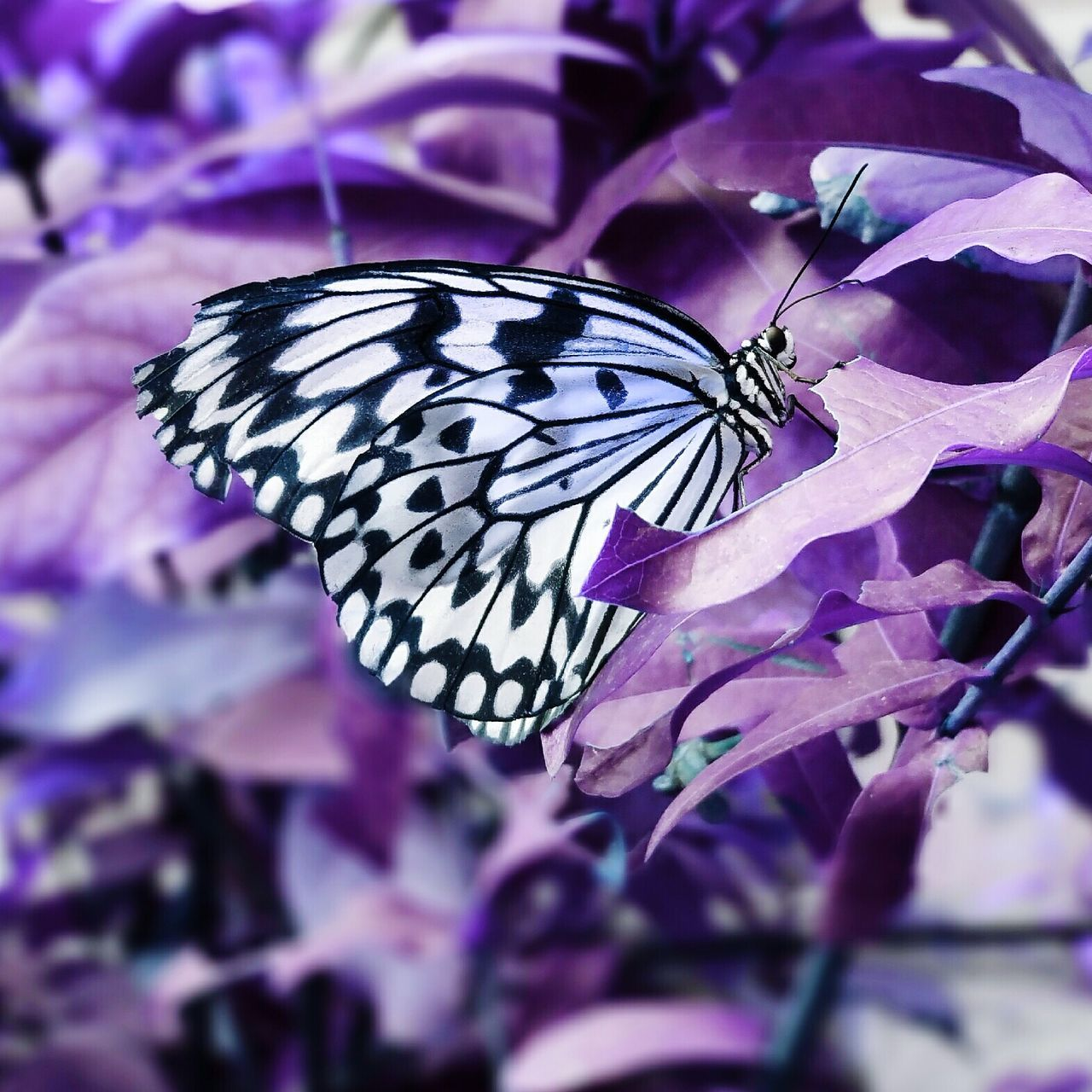 insect, butterfly - insect, animal themes, animals in the wild, purple, one animal, butterfly, close-up, flower, nature, fragility, no people, animal wildlife, beauty in nature, petal, outdoors, day, plant, flower head, animal markings, pollination, freshness, growth