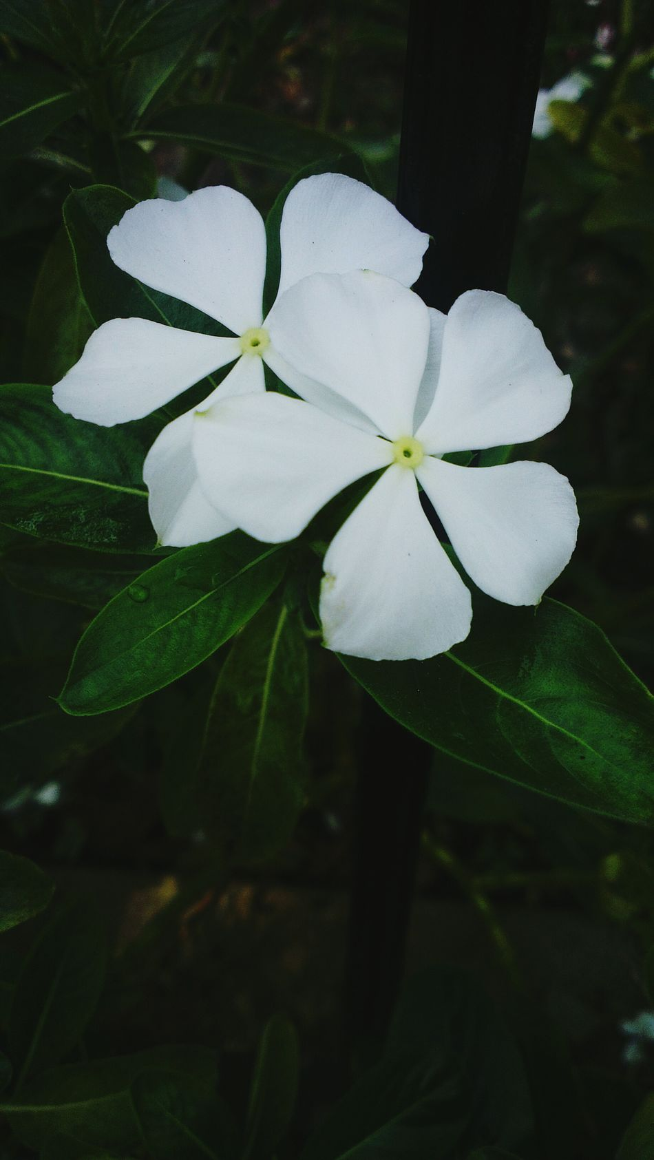 Nature Flower Plant Close-up Beauty In Nature Freshness Fragility Green Color Outdoors Growth Flower Head Leaf Petal Periwinkle No People Day