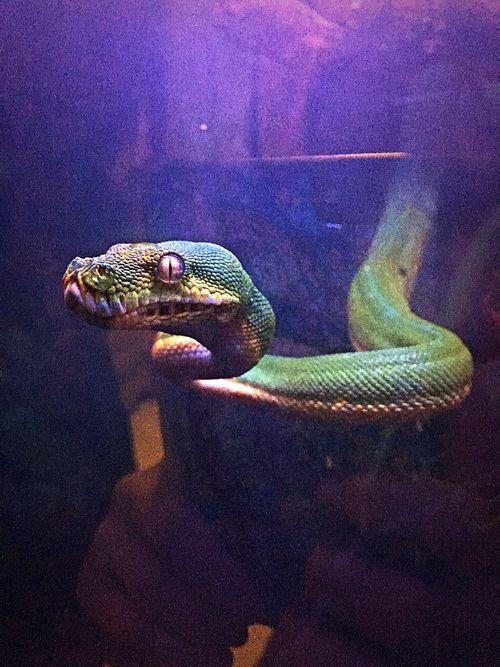 Kundalini Greentreepython Sorong Gtp Reptile Close-up Exotic Pets First Eyeem Photo