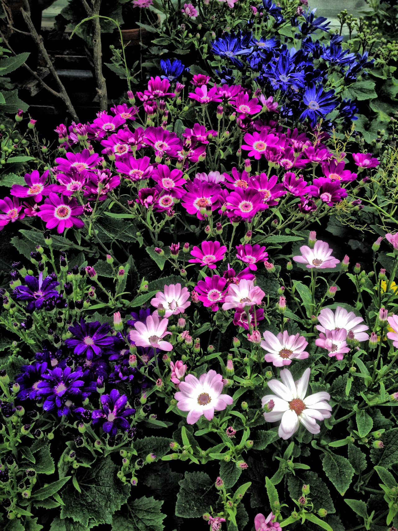 Cineraria flowers Beauty In Nature Blooming Blue Botany Cineraria Close-up Flower Flower Head Flowers Freshness Growing Growth In Bloom Nature Outdoors Petal Pink Plant Purple