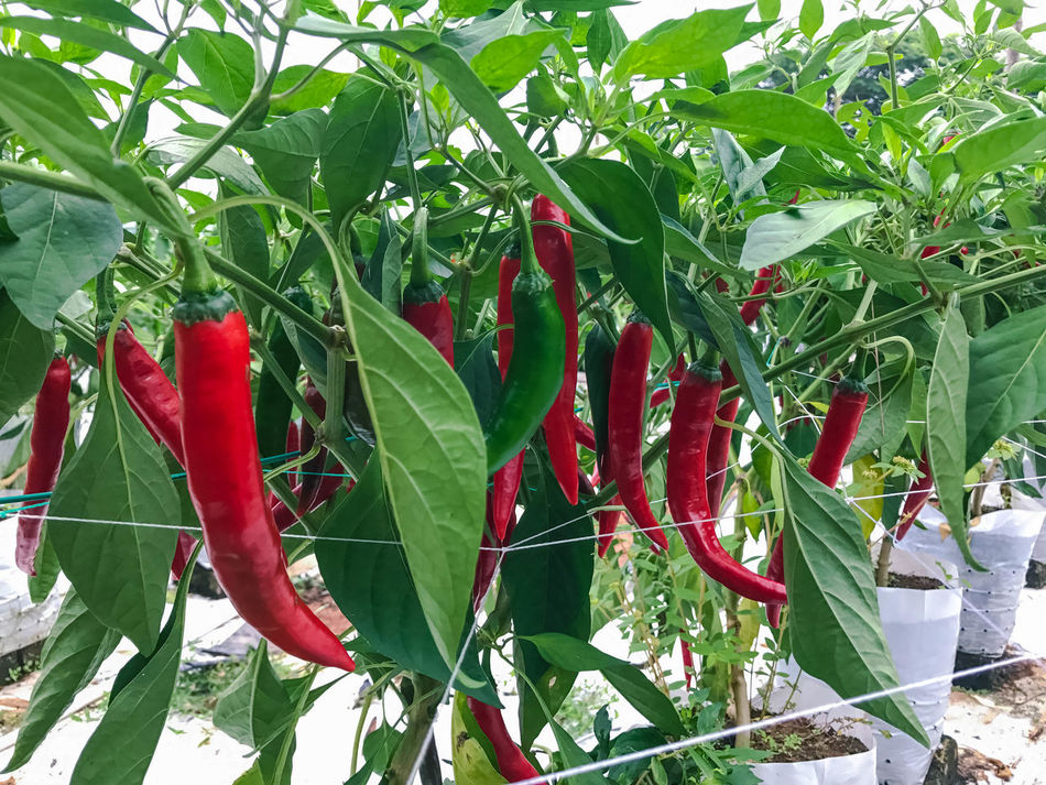 Chilli farm with modern technique with fertigation system. Fertigation is related to chemigation, the injection of chemicals into an irrigation system BIG Farm Green Growth Hot Red Red, Spicy Farming Fertigation Fertile Fertile Soil Fertilization Fertilizer Fresh, Garden Grow Growth Leaf Modern Farming Nature Outdoor Outdoors Red Chili Spices
