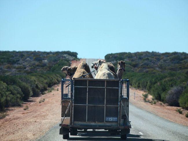 Camels Travel Camelv Highway Edoho Road Trip Working Holiday  Monkeymia Western Australia Australia Australia & Travel