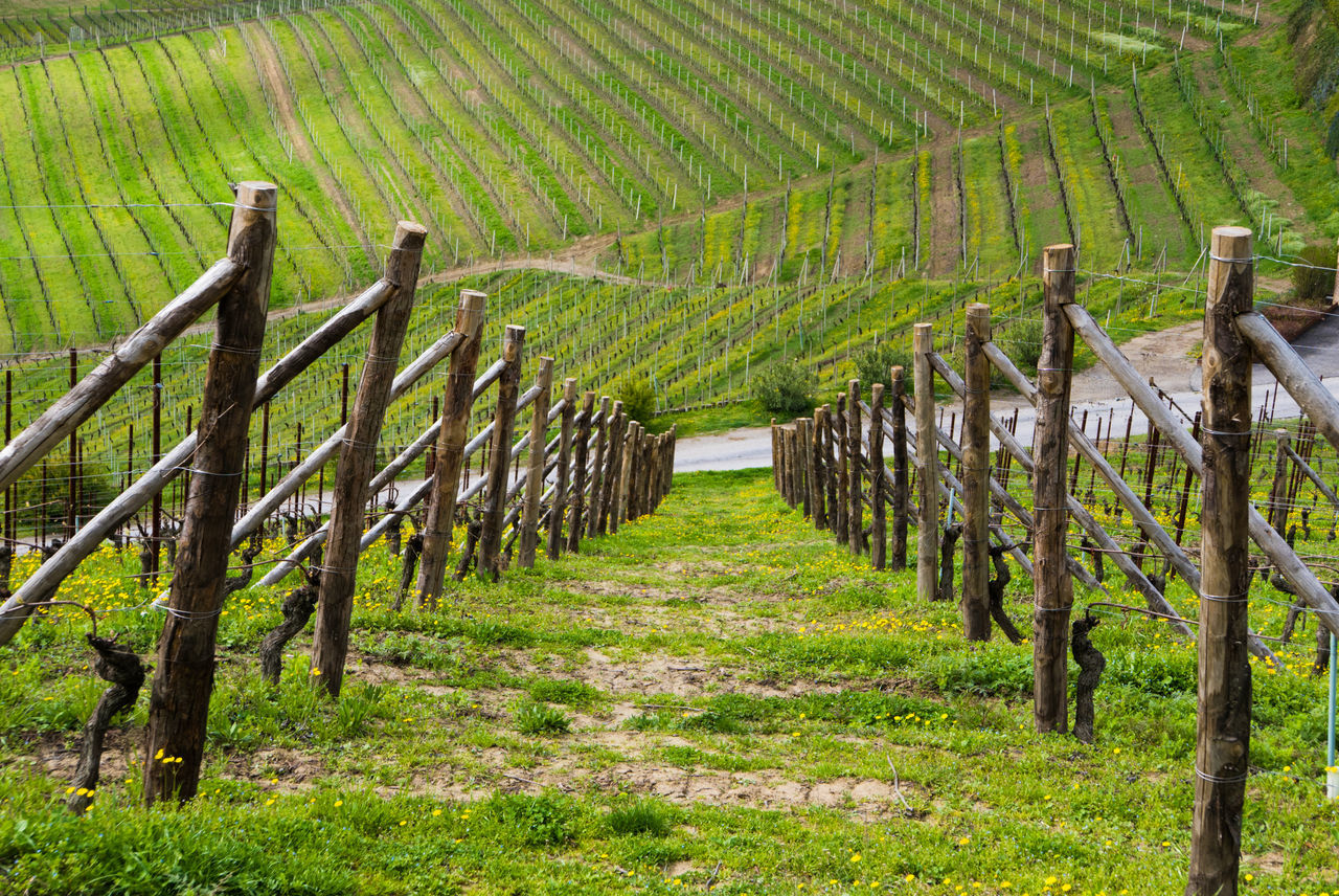 Agriculture Beauty In Nature Day Field Green Color In A Row Landscape Langhe Nature No People Outdoors Piemonte Rural Scene Scenics Vineyard Winemaking