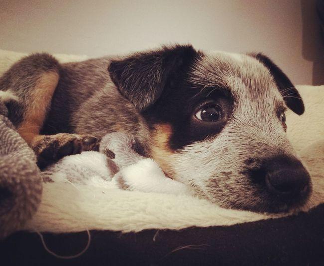 Baby Sydney Puppy Love Blue Heeler Pets Close-up Cute