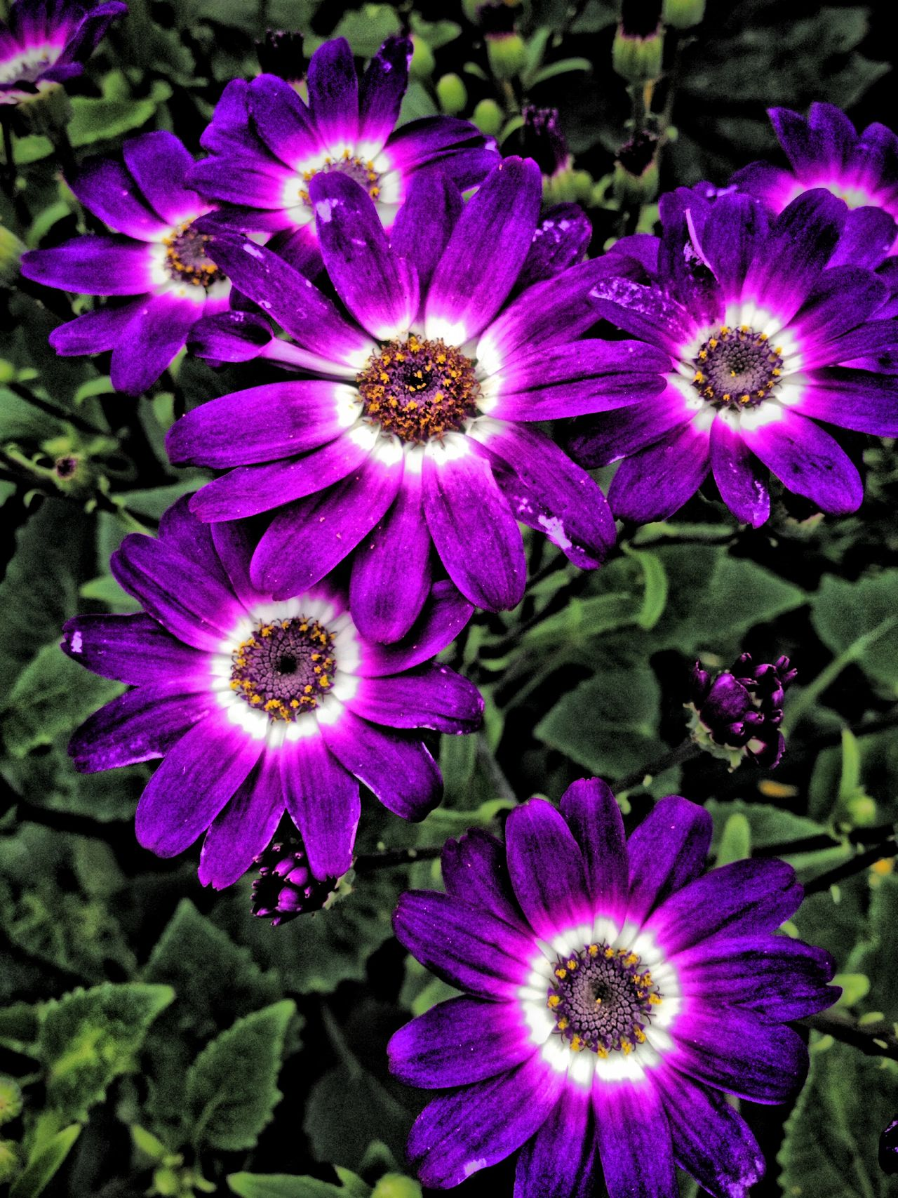 Cineraria flowers Beauty In Nature Blooming Botany Cineraria Close-up Flower Flower Head Flowers Freshness Growth In Bloom Nature Outdoors Petal Plant Purple