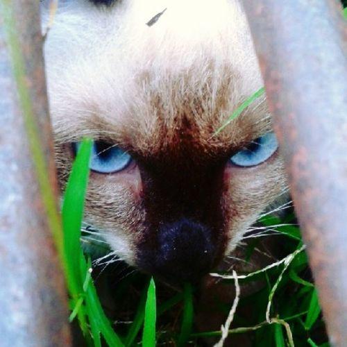 Catslover BlueEyes Hide&seek