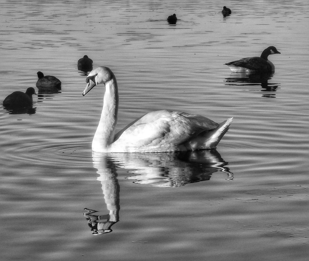 Beautiful swan taken at Pennington Flash Manchester Bird Animal Themes Animals In The Wild No People Water Swan Water Bird Outdoor Beauty Outdoor Photography Nature_perfection Nature On Your Doorstep Black And White Photography Black And White Portrait Black And White Collection  Monochrome Photography Bnw_captures Landscape_photography Fujifilm Creative Light And Shadow Malephotographerofthemonth Nature And Wildlife By Tony Bayliss Birds_collection Birds Of EyeEm  Reflections In The Water Wildlife Reflection