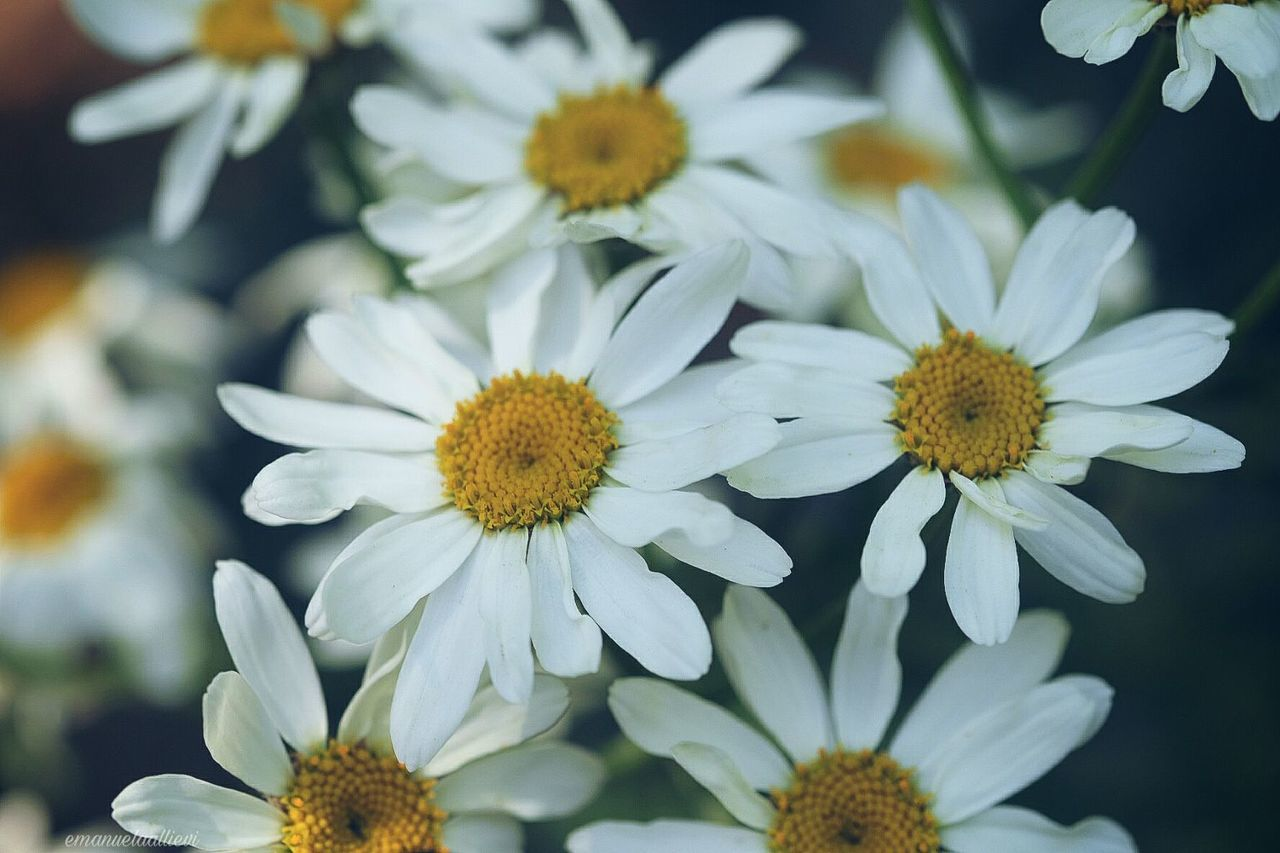 🌼🌼🌼🌼 Flower Flower Head Fragility Beauty In Nature Nature Petal Plant Freshness Close-up Pollen Uncultivated Daisy Close Up Multi Colored Springtime Nature Photography EyeEmbestshots Eye Em Nature Lover 3XSPUnity 3XSPhotographyUnity 3XSPUnity Freshness Beauty In Nature Nature Growth