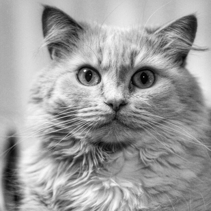 Domestic Cat Domestic Animals One Animal Pets Animal Themes Mammal Looking At Camera Animal Body Part Whisker Animal Hair No People Tabby Cat Vet  Persian Cat  Portrait Indoors  Feline Day Close-up Photography Black-and-white Black Belarussian Animals In The Wild Beauty In Nature