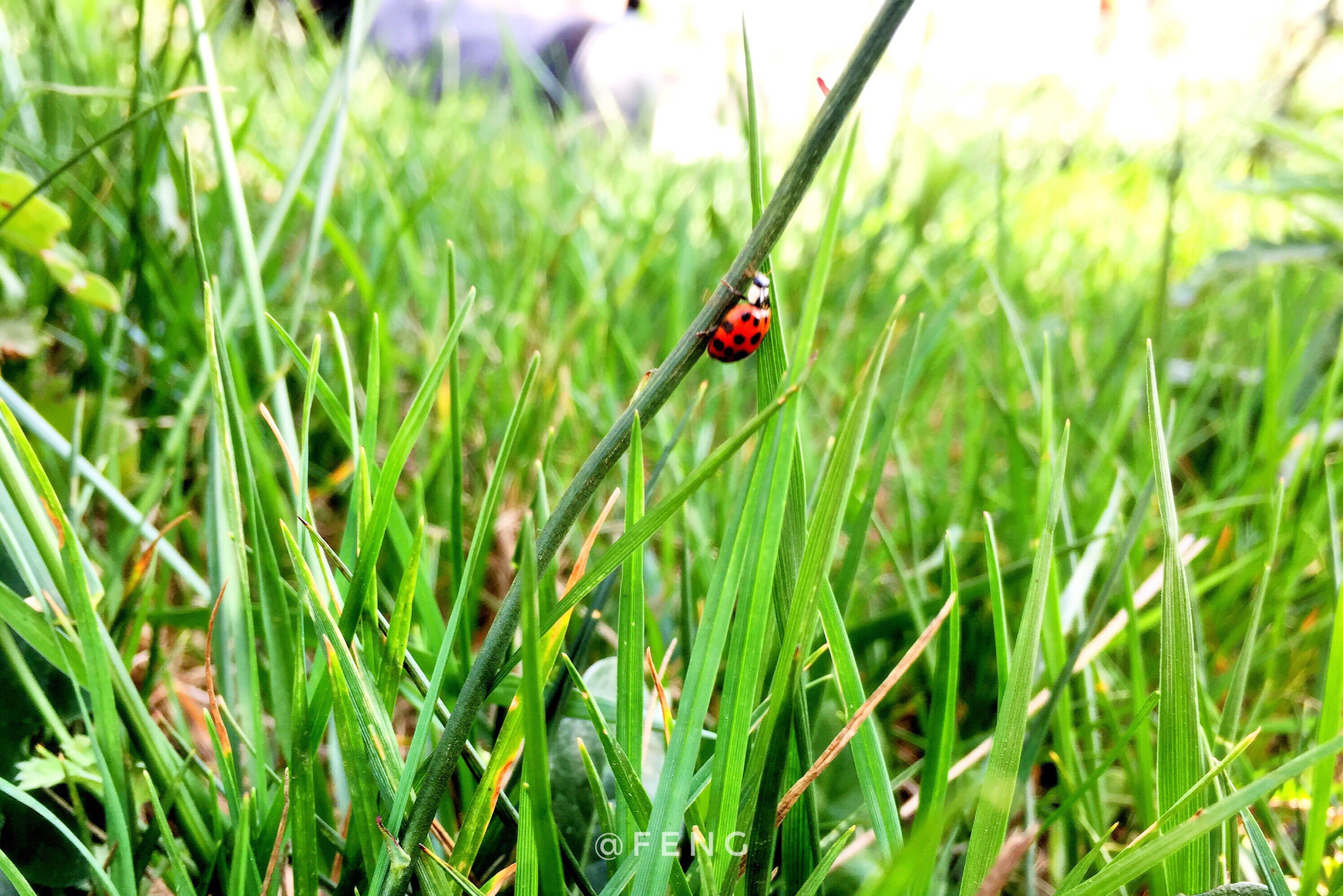 grass, one animal, animals in the wild, insect, animal themes, red, ladybug, wildlife, nature, green color, tiny, growth, plant, day, outdoors, field, animal wildlife, no people, close-up, beauty in nature