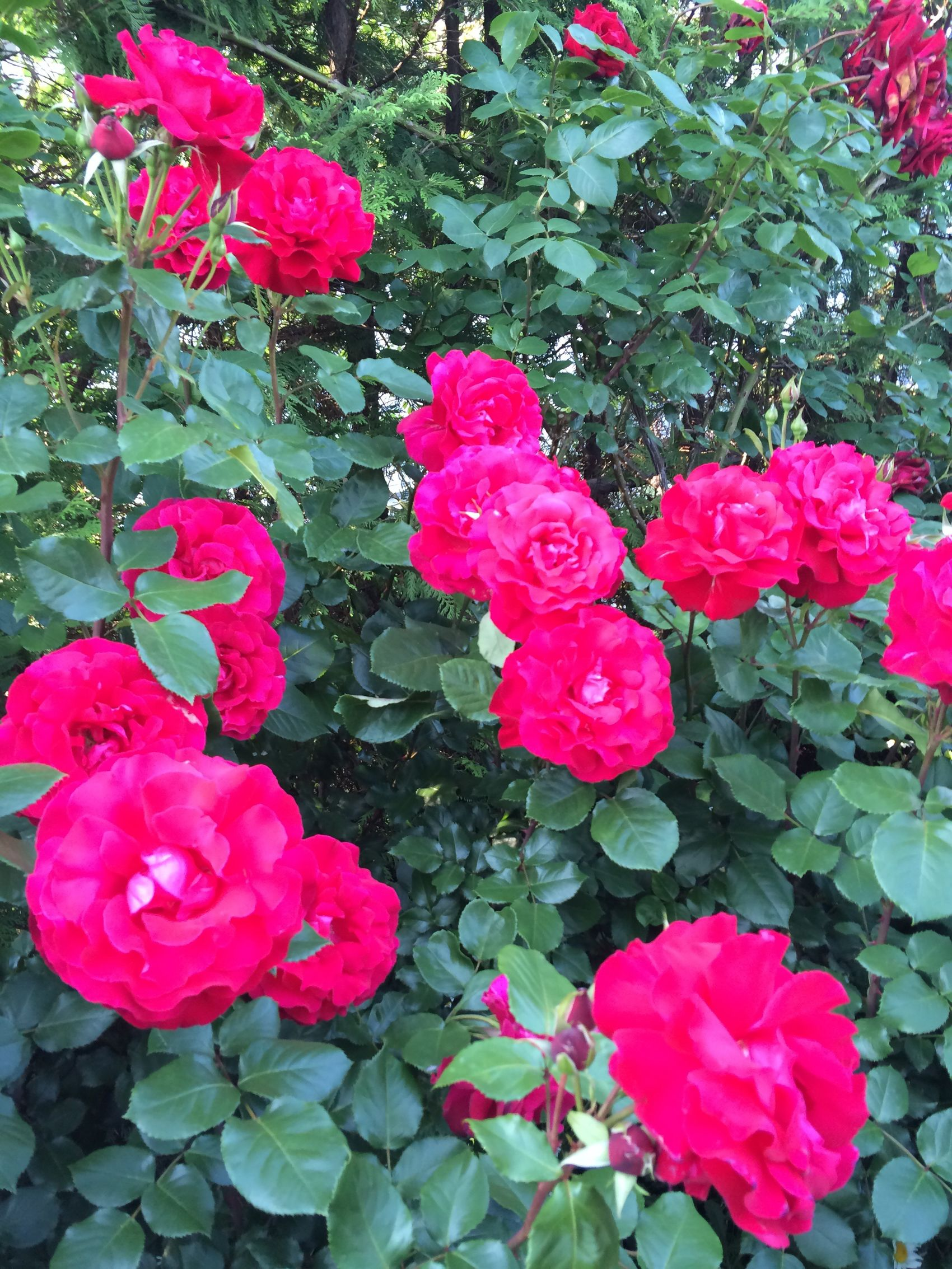 LaMarseillaise France Rose🌹 Red Pink Flower Garden Garden Photography Greatview Nature_collection Beautiful Nature Beautiful Flowers